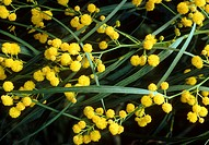 Acacia cyanophylla  Blue leaved wattle Dr Bob Gibbon 0