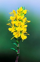 Yellow odontites flowers Odontites lutea