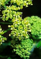 Alexanders Smyrnium olusatrum  At one time this plant was extensively grown for its edible leaves and stems but it has now fallen into virtual disuse,...