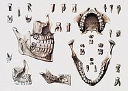 Dental anatomy  Historical anatomical artwork of healthy and diseased human teeth and jaws  The teeth and jaws are seen from several different directi...