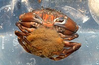 Common shore crab Carcinus maenas carrying eggs on the underside of her abdomen  This crab can produce up to 185,000 eggs  It inhabits a wide range of...