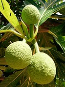 'Ulu/ Breadfruit, a food staple, Hawai'i and Polynesia