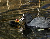 Adult coot feeding its chick Fulica atra  Coots are omnivorous, feeding mainly on plants but also on eggs and small animals  Photographed in the Lea V...