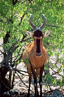 Red hartebeest Alcelaphus buselaphus caama  This antelope stands 1 5 metres tall at its shoulder and can weigh up to 200kg, they live in open forests ...