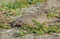 Peludo, Larger Hairy Armadillo, Chaetophractus villosus, Parque Nacional, Los Glaciares, El Chalten, Santa Cruz, Patag