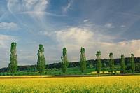 rape, poplars, rape field, rape fields, spring, country, field, fields, tree, trees, avenue, tree avenue, yellow, agra