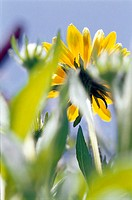 Garden marigolds, detail, blooms, puts down one by one, from below, heaven, summer,  Garden, meadow, summer flower meadow, flower meadow, plants, orna...