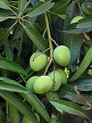 Alphonso mango hanging on a tree. Mangifera indica L. - Anacardiaceae, Alphonso mango.&#160;Ratnagiri. Maharasthra, India