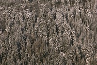 Winter forest,    Nature, botany, vegetation, plants, trees, forest, needle forest, conifers, season, winters, wintry, snow-covered, snow,
