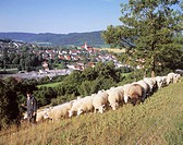Germany, Baden-Württemberg,  Eels, mountain meadow, shepherds, sheep herd, Gaze, district Unterkochen, ,  Ostalb, Swabian Alb meadow Schafbeweidung sh...