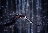 Eurasian marine eagle, Haliaeëtus albicilla, flight,