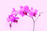 Orchid, Phalaenopsis sp., purple,