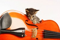 photograph of a violin with a kitten