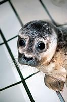 Mean seal, Phoca vitulina,  Look camera, portrait,   Animal portrait, animal, mammal, Meeressäuger, Meeressäugetier, orphans, seal rescue, animal prot...