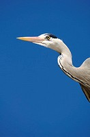 Gray herons, Ardea cinerea, profile,  from below,   Series, nature, wildlife, wild animal, animal, bird, wader, Schreitvogel, herons, herons, beak, on...