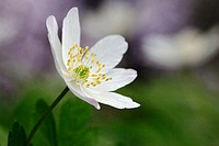 Wood Anemone (Anemone nemorosa). Schleswig-Holstein, Germany