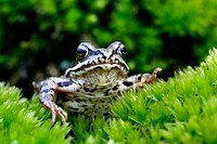 European Common Frog ( European Frog, European Common Brown Frog ), Rana temporaria