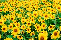 Field of Sunflowers (Helianthus sp.).