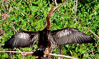 Anhinga (Anhinga anhinga), also called Snake-bird or Water Turkey. Adult male drying plumage. Anhingas do not possess an oil gland and so are not able...