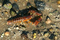 Immature Northern Lobster (Homarus americanus). Maine.
