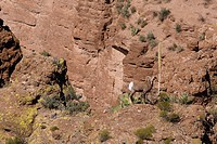 Rocky Mountain Bighorn Sheep Ram (Ovis canadensis canadensis). This sheep´s color is usually grayish brown with a white rump patch, The belly and thro...