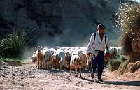 Shepherd, with, flock, of, sheep, Pyrenees, Spain, herdsman
