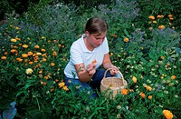 Woman, harvesting, Garden, Marigolds, Calendula, officinalis, Compositae