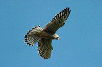 Common, Kestrel, female, Hessen, Germany, Falco, tinnunculus