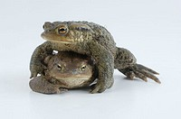 Common, Toads, pair, Bufo, bufo