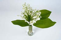 Lily, of, the, Valley, Convallaria, majalis