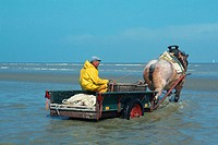 Fisherman, with, horse, cart, at, beach, shrimps, fishing, Oostduinkerke, Belgium