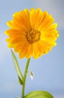 Garden, Marigold, Calendula, officinalis