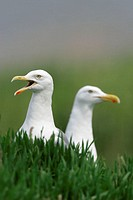 Herring Gulls, Germany, Larus argentatus