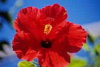 Close-up of red hibiscus with blue sky in background