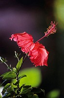 Close-up of red hibiscus with blurred background
