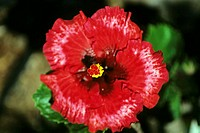 Close-up of red hibiscus among green leaves (thumbnail)