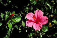 Pink hibiscus growing on leafy green plant (thumbnail)