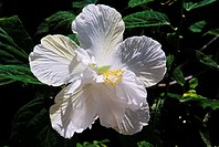 Closeup of white hibiscus growing on leafy plant