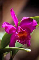 Close-up of a pink cattleya orchid and green leaves