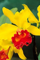 Close-up of yellow cattleya orchids with crimson centers and green leaves