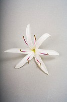 Hawaii, White spider or crinum lily, studio shot on white background