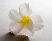 Studio shot of white plumeria on white background