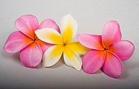 Studio shot of three plumerias, two pink and one yellow, on white background