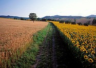 France, Puy-de-Dôme (63), sunflowers and cereal fields in the Lower Livradois region near Billom