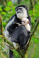 Guereza (Colobus guereza) Captive, with baby. Germany