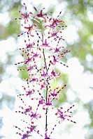 Wild Orchid flowers