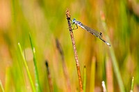 Common Blue Damselfly (Enallagma cyathigerum). Central Oregon, USA