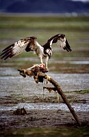 Osprey (Pandion haliaetus) devouring prey. Urdaibai, Biscay, Euskadi, Spain