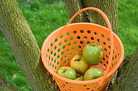 Basket of apples in a tree