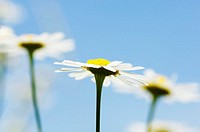 Mayweed, Anthemis arvensis